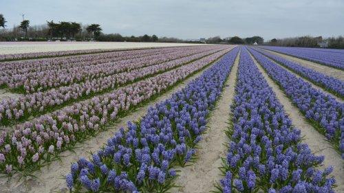 EN IMAGES - Les fleurs colorent les champs de la pointe de la Torche