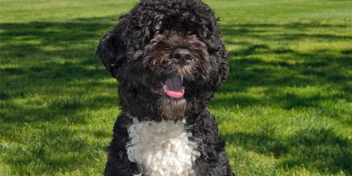 Obamas mourn passing of beloved first dog Bo