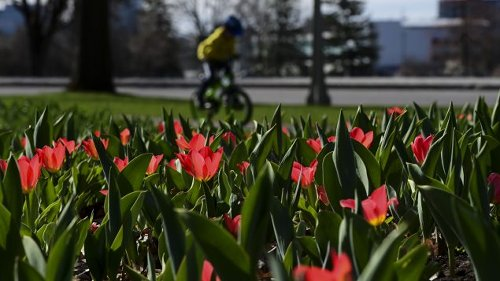 Tulips bloom in Ottawa
