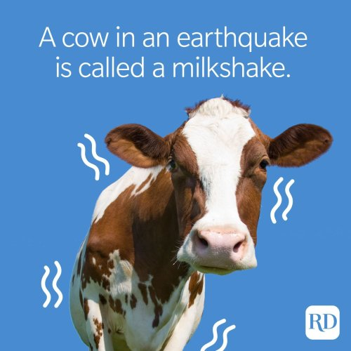 50 Cow Jokes That Will Make You Spit Up Your Milk