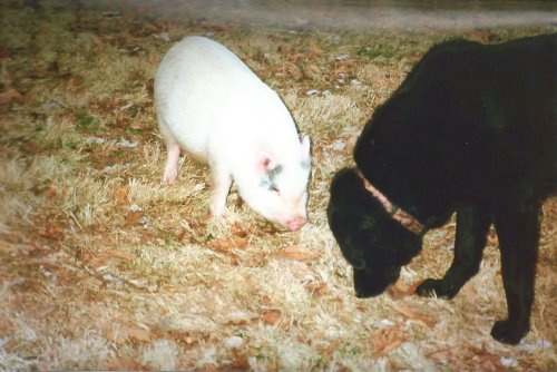 How One Pig Became a Town Mascot, and the Best Friend She Made Along the Way