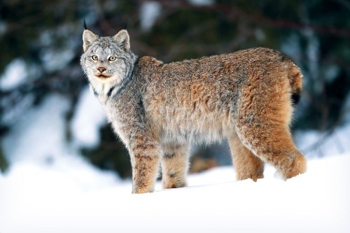 A Wild Lynx Appeared on My Friends' Property—And Lived There for Weeks