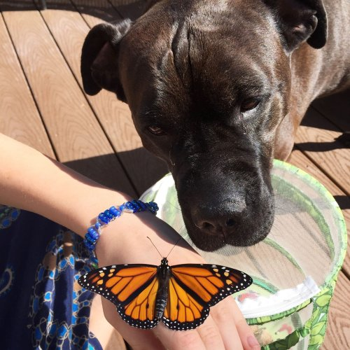 The Dog Who Took Monarch Butterflies Under Her Wing
