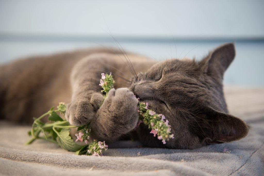 Why Do Cats Love Catnip?