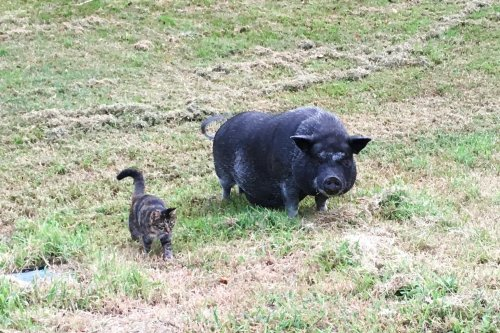 This Ornery Pig Didn't Like Anyone Until One Unlikely Creature Was Determined to Be Her Friend