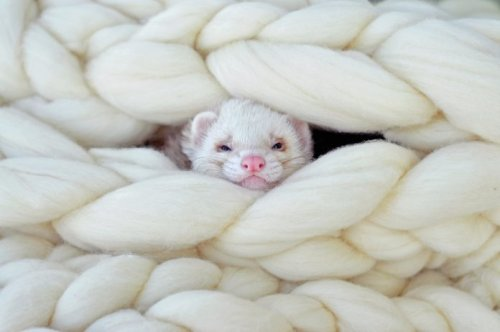 33 Cute Ferret Pictures That Will Make You Smile