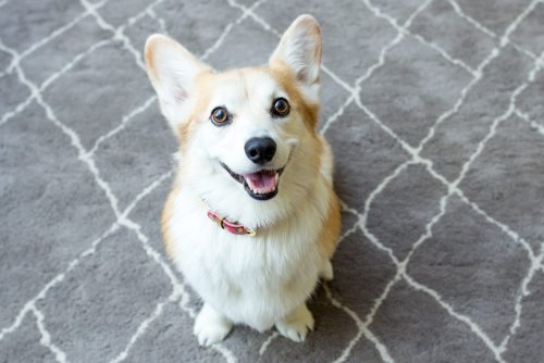 26 Adorable Corgi Pictures That Will Make You Want One