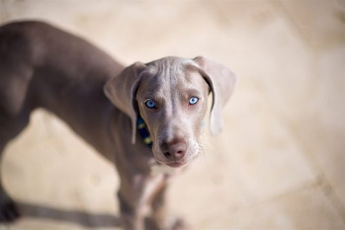 12 Dog Breeds with Beautiful Blue Eyes