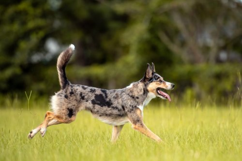 10 Energetic Australian Dog Breeds That Are Always on the Go