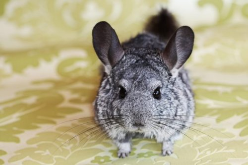 26 Chinchilla Pictures That Will Make You Smile