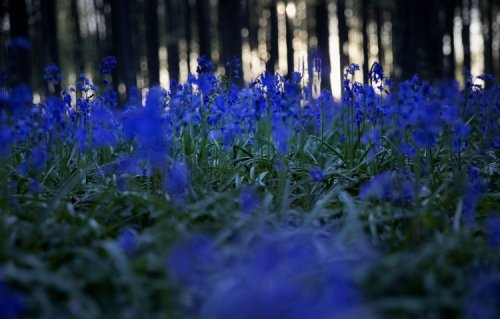 Why Is Blue So Rare in the World of Plants?