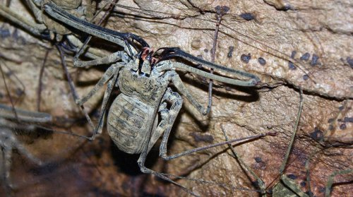 Making Sense of the Great Whip Spider Boom