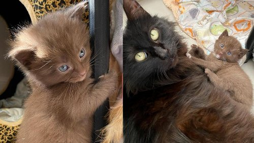 Cat Has Four Kittens with Rare Brown Coat and Kind Family to Help Them Thrive
