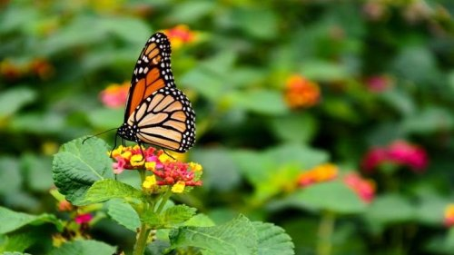 Milkweed and Monarch: How to See More Butterflies This Summer