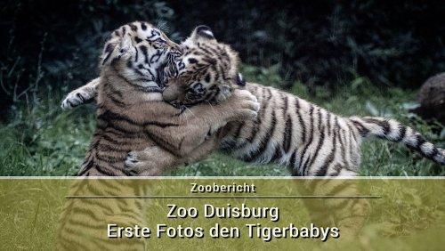 Tigerbabys im Zoo Duisburg