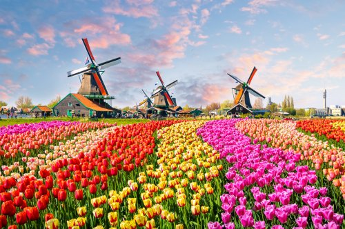 Tulpenblüte in Holland - Entdeckt farbenfrohe Blütenmeere