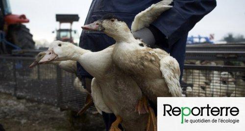 Grippe aviaire : le sort de l'élevage en plein air en suspens