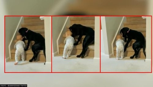 Pet dog stops toddler from climbing staircase; netizens call the pooch 'loyal friend'