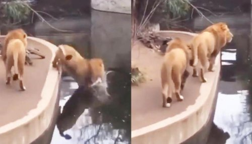 Lion mistakenly falls into a water; netizens calls the big cat 'clumsy' | WATCH