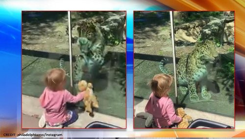 Philadelphia zoo's endangered leopard plays with kid and her plush cat toy, internet melts