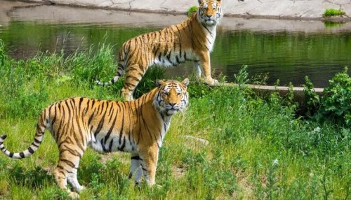 On International Tiger Day, here are some interesting & important facts about the wild cat