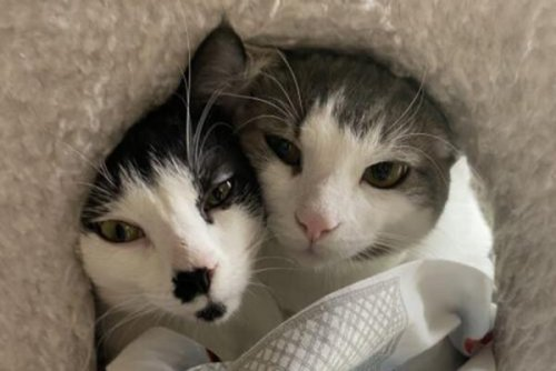 Pet of the Week: Fred and Harmon, two sweet, affectionate kitties looking for a home together