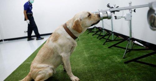 Sweat-sniffer dogs make Thai debut as coronavirus detectors