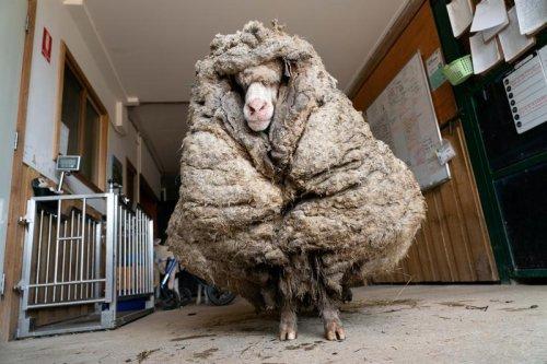 Baarack from the brink: Wild sheep rescued in Australia shorn of 35 kg fleece