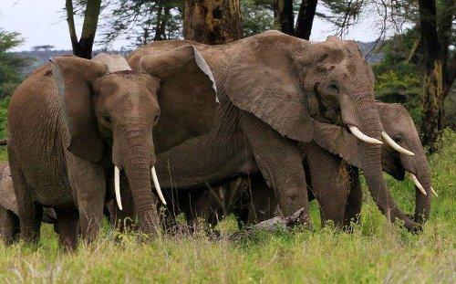 Elephants or avocados: a Kenyan dilemma