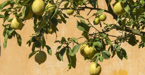 ÁRBOLES FRUTALES que puedes cultivar en una maceta