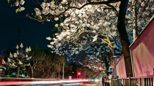 C'est dans ta nature - Le paulownia, l'arbre gourmand de CO2