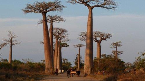 Madagascar: plusieurs espèces de baobabs menacées de disparition par le changement climatique