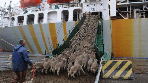 Le blocage du canal de Suez relance le débat sur le transport maritime des animaux d'élevage