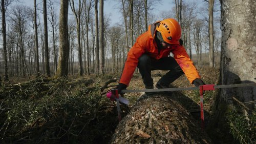 First oaks for Notre-Dame cathedral restoration taken from French forest