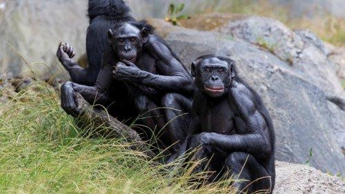 États-Unis: des grands singes vaccinés contre le Covid-19, une première mondiale