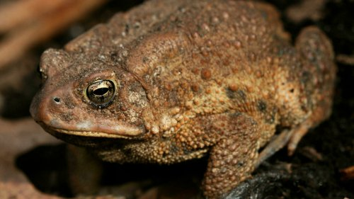 Madagascar: la prolifération du crapaud asiatique met en danger l'écosystème de l'est du pays