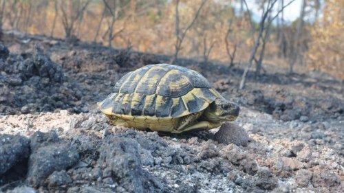 C'est dans ta nature - Après le feu (2/2): la tortue d'Hermann est résistante