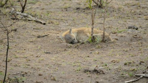 C'est dans ta nature - La hyène, «Girl Power» dans la savane