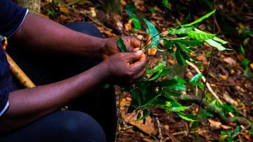 Reportage Afrique - Sierra Leone: sur la colline de Kambui, le café fait renaître l'espoir des cultivateurs
