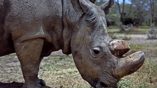 Zoo in Bangladesch will depressives Nashorn mit Schafen aufheitern