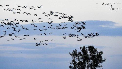 Verschobener Abflug, verkürzte Dauer: Zugvögel und der Klimawandel