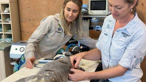 Gefährliche Infektion: Australien impft Koalas gegen Chlamydien