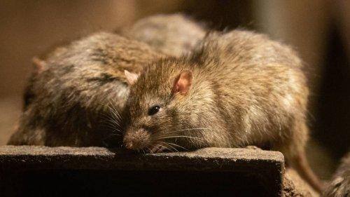 13 an den Schwänzen verknotete Ratten: seltener Rattenkönig in Estland entdeckt