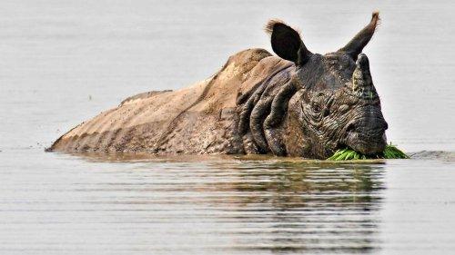 Fast ausgerottet: In Nepal hat sich der Bestand der Panzernashörner ein wenig erholt