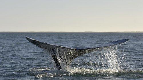 Erstmals seit Jahrhunderten: Grauwal taucht an Küsten Italiens auf