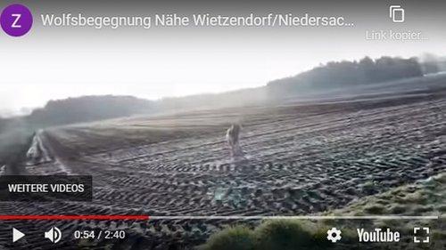 Wolf verfolgt Frau auf einem Feld in Niedersachsen, Video zeigt die Szene