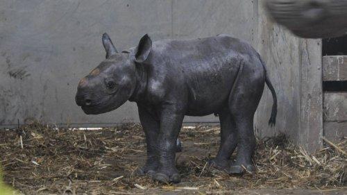 Sensation in britischem Zoo: Seltenes Spitzmaulnashorn geboren
