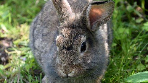 Kaninchen in Dromedar-Gehege geworfen: junge Frau unter Verdacht