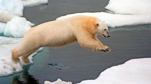 Eisbär verläuft sich – und wandert 500 Kilometer durch Russland
