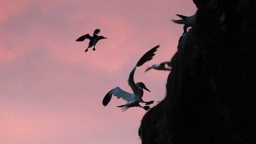 Sturz ins Meer: So springen die Küken der Trottellumme auf Helgoland 40 Meter in die Tiefe